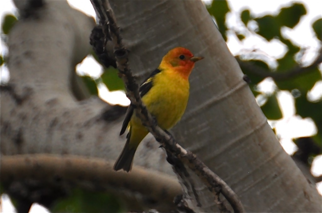 Painted Finch