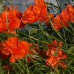 Mrs. Sims' Poppies